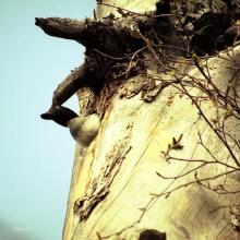 Самка гоголя, низовья реки Тауй, июнь 2006 год.