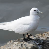 Белая чайка в бухте Нагаева, 26.05. 2011 год.
