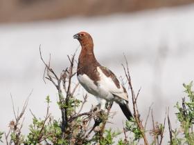bird_belaya_kuropatka