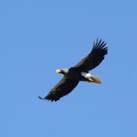Белоплечий орлан над гнездовым участком. Низовья Олы, 6.06.2016 год.