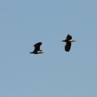 Белоплечие орланы. Устье реки Ола, 14.05. 2011 год.