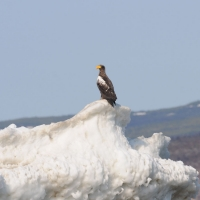 Белоплечий орлан, Ольская лагуна, 25.05. 2012 год.