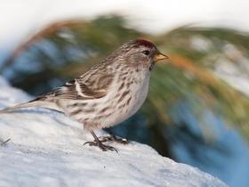 bird_chechetka
