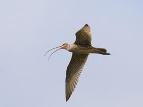 bird_dalnev_kronshnep