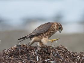 bird_derbnik
