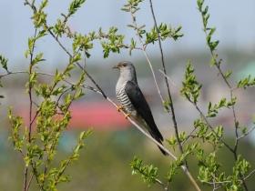 bird_glukhaya_kukushka