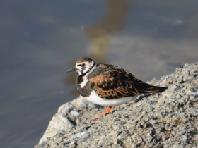 bird_kamnesharka