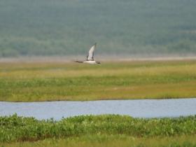 bird_krasnozobaya_gagara