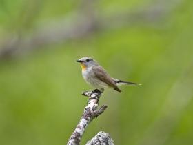 bird_malaya_mukholovka