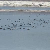 Морские чернети, Ольская лагуна, 24.05. 2012 год.