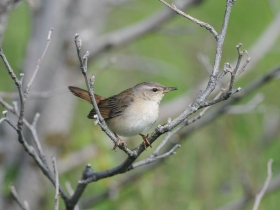 bird_okhotskiy_sverchok