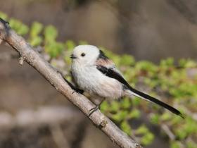 bird_opolovnik