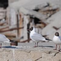 Озерные чайки, бухта Нагаева, 23.05. 2013 год.