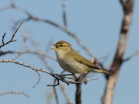 bird_penochka_talovka