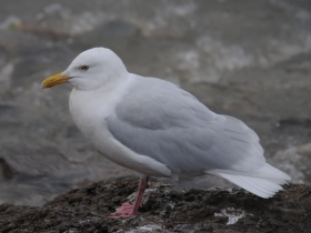 bird_polyarnaya_chayka