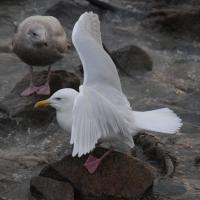 Полярная чайка, бухта Нагаева, 16.11. 2010 год.