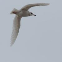 Молодая полярная чайка, бухта Нагаева, 22.04. 2013 год.