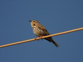 bird_pyatnistyy_konek