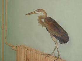bird_ryzhaya_tsaplya