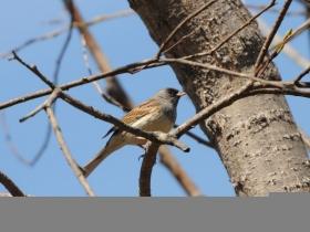 bird_sedogolovaya_ovsyanka