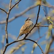 Поющий самец седоголовой овсянки в пойме Олы, 8 июня 2013 года.