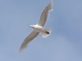 bird_serokrylaya_chayka