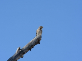 bird_sibirskaya_mukholovka
