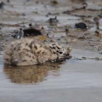Птенец сизой чайки, Ольская лагуна, 08.07. 2012 год.