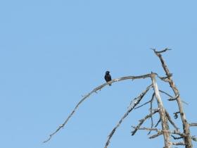 bird_skvorets
