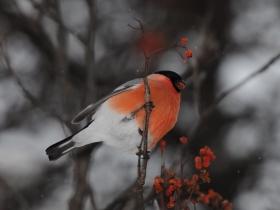 bird_snegir