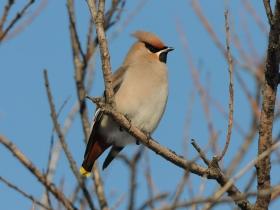 bird_sviristel
