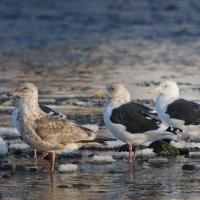 Тихоокеанские чайки в бухте Гертнера, 25.10. 2014 год.