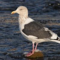 Тихоокеанская чайка в бухте Гертнера, 25.10. 2014 год.