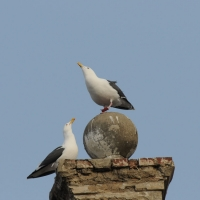 Тихоокеанские чайки на крышах Магадана, 26.04. 2013 год.