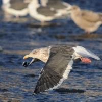 Тихоокеанская чайка в бухте Гертнера, 26.10. 2014 год.