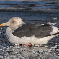 Тихоокеанская чайка в бухте Гертнера, 02.11. 2014 год.