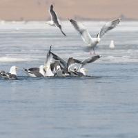 Тихоокеанские чайки, Ольская лагуна, 07.05. 2012 год.