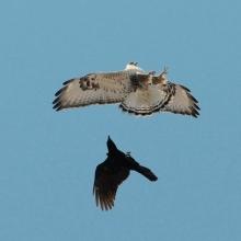 Ворон и зимняк над ольскими полями, 14.05 .2015 год.