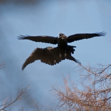 Пара воронов у гнезда, низовья Магаданки, 5 мая 2013 года.