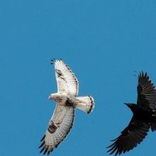 Разборка между вороном и зимняком в ольском небе, 21.06. 2015 год.