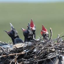 В гнезде ворона, верховья Анадыря, 28.06. 2015 год.