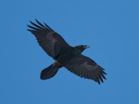 bird_voron