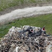 В гнезде ворона, верховья Анадыря, 30.06. 2015 год.