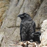 В гнезде ворона, окрестности Нюкли, 20.06. 2011 год.