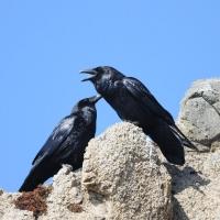 Пара воронов в окрестностях Нюкли, 05.07. 2012 год.