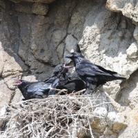 Ворон у гнезда, окрестности Нюкли, 21.06. 2015 год.