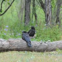 Слетки ворона в устье Олы, 18.07. 2015 год.