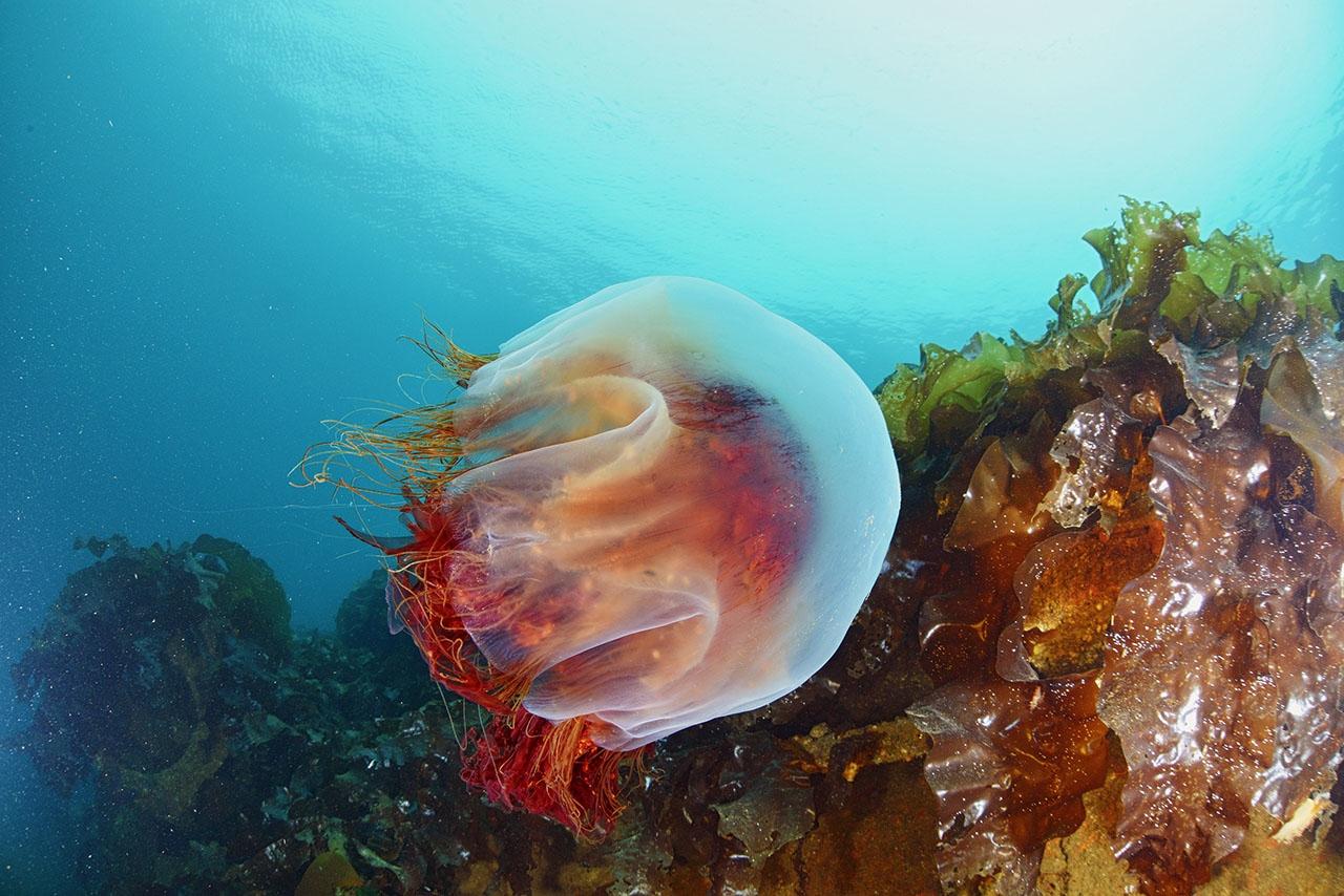Медуза неспешно следует по своим делам...
