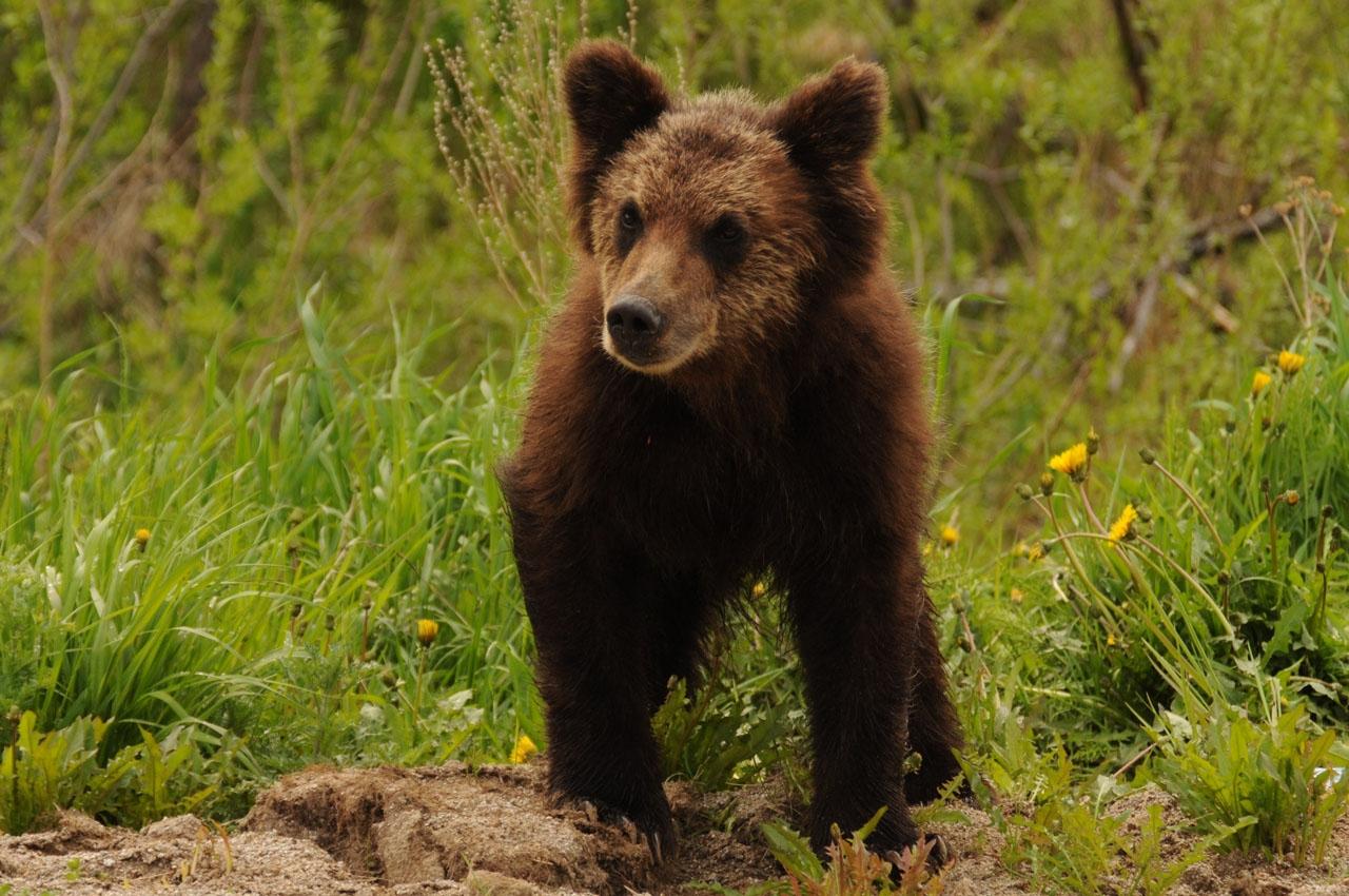 Медвежонок, Колымская трасса, 21.6. 2011 год.