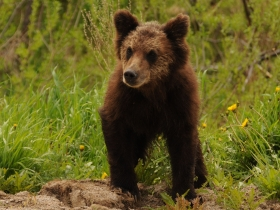 carnivores_brown_bear